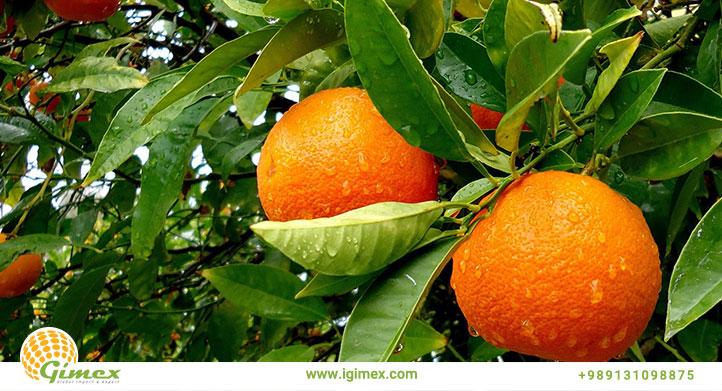 پرتقال صادراتی درختی