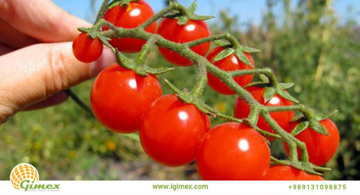 گوجه صادراتی با کیفیت