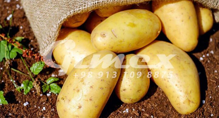 سیب زمینی صادراتی