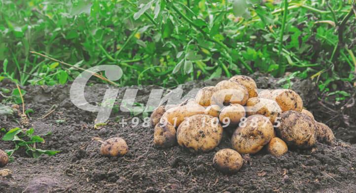 سیب زمینی صادراتی ارگانیک